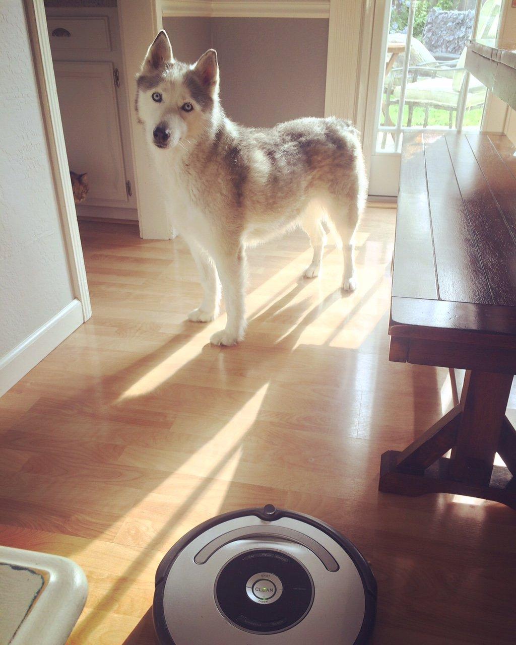 Frenchie Roomba